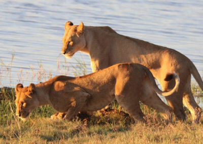 Lions Chobe4x4 Self Drive Botswana Adventure