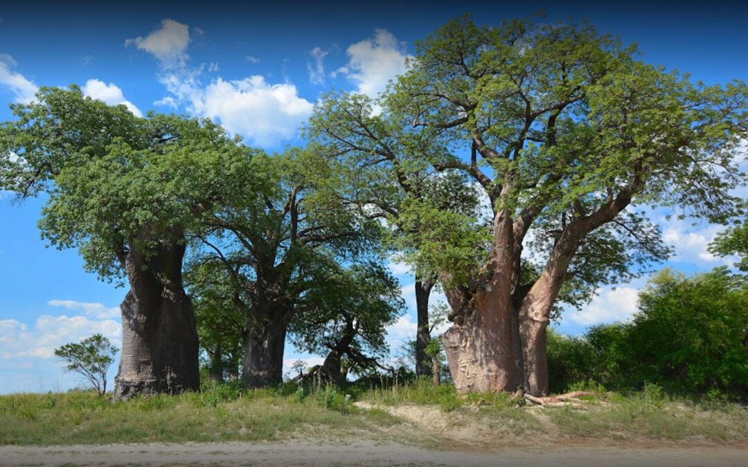Camping Botswana Baines Baobab